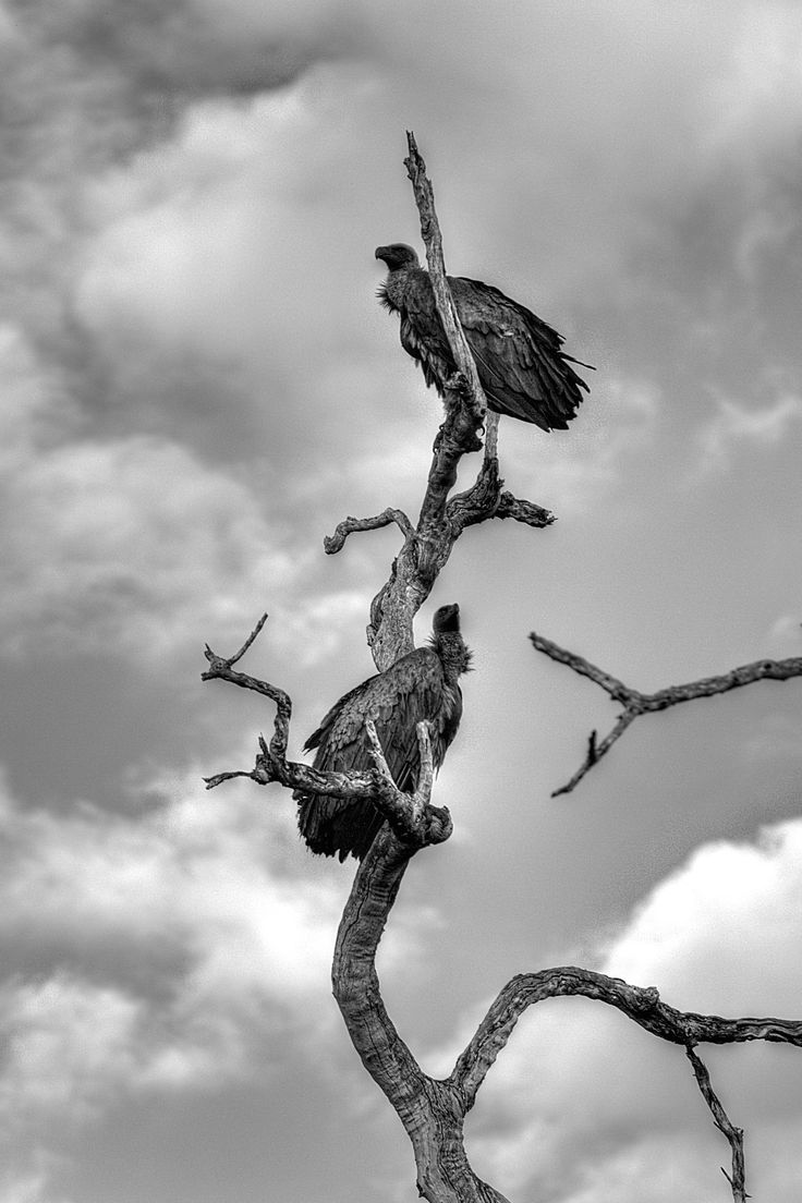 Scouting Vultures