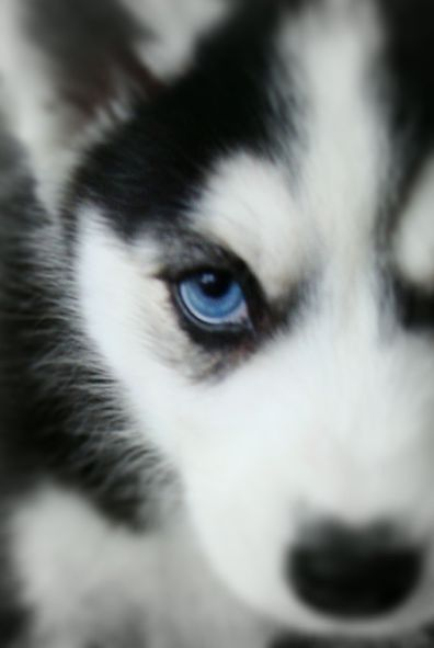 looks so  cute with blue eyes and it looks evil but its the most adorable thing every