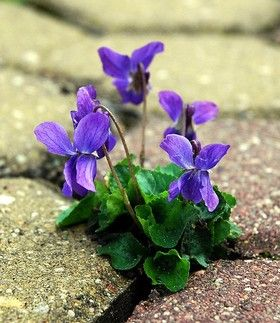 violets - flowering plants in the Violaceae family & the Malpighiales order