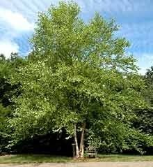 Betula nigra - River Birch. Family betulaceae.