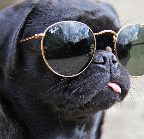 Pug with sunglasses