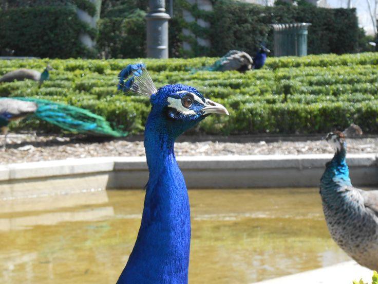 Peacocks in Retiro Park in Madrid