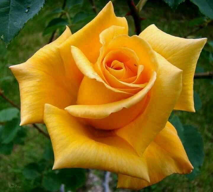 Yellow Rose Rosas Amarelas Rosas Roseiras