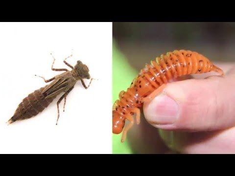 """Съедобный силикон """"Fanatik"""" - """"Larva"""" личинка стрекозы. Обзор - YouTube"""