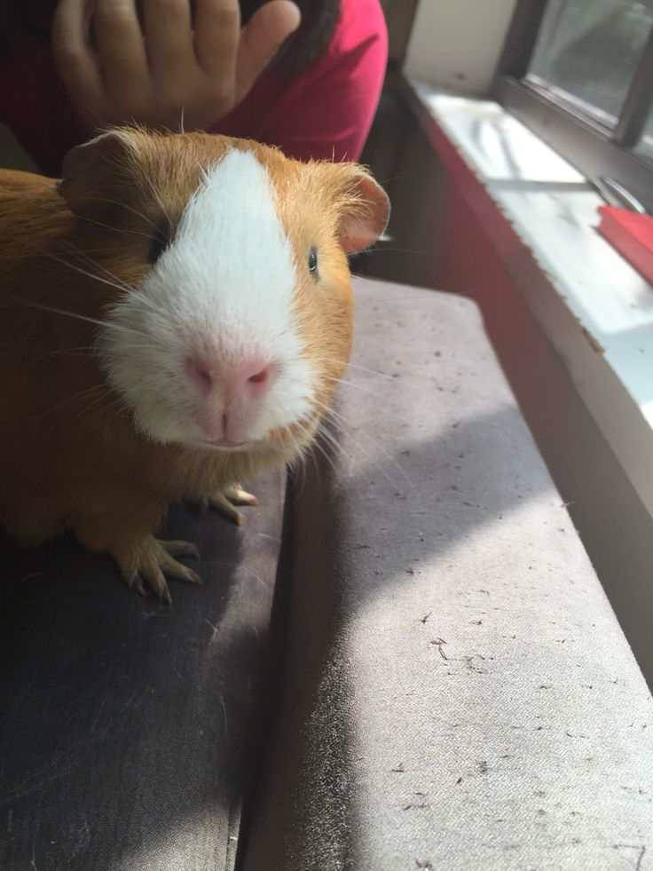 A new addition to the family, Truffles the guinea pig.