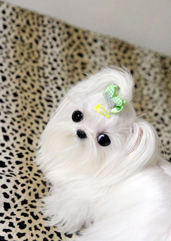 micro mini maltese puppies | Zoe Fans Blog