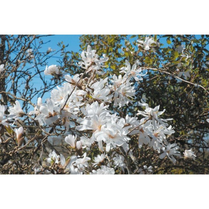 En middels stor busk med eksotiske, stjerneformede, hvite, duftende blomster i april-mai. Best i sol på en varm, lun plass med veldrenert, jevnt fuktig, humusrik, svakt sur jord. ...