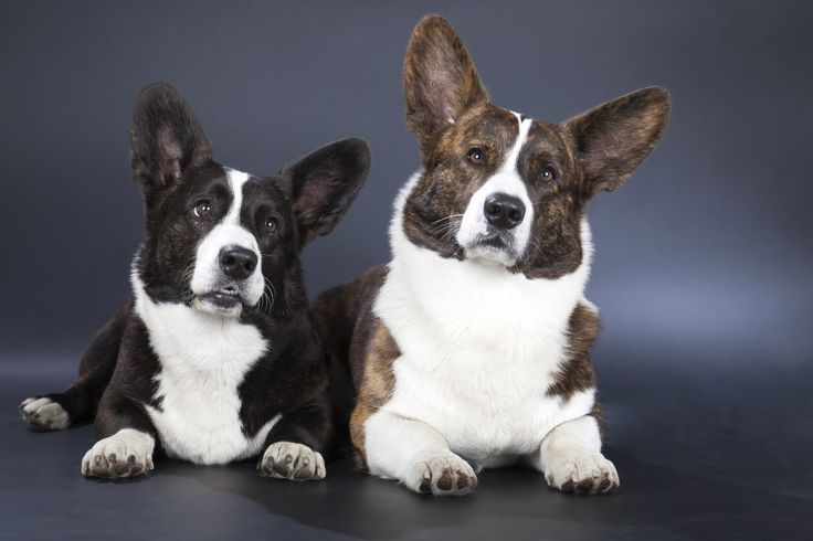 Two Welsh Corgi Cardigan