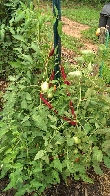 images  staking tomatoes  pinterest
