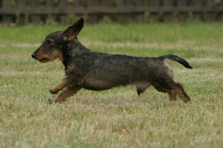 Run!: Dogs Doxi, Long Dogs, Dog, Pet Kingdom, Favorite Kind, Delight Doxi