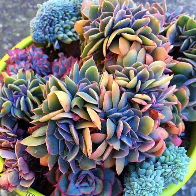 1000+ ideas about Identifying Succulents on Pinterest | Succulents ...