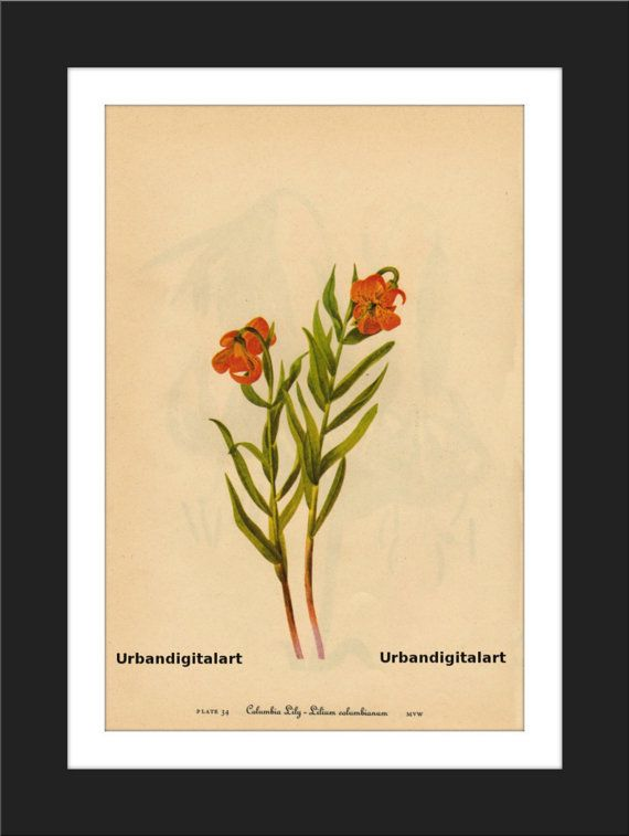 Colombia Lily-Downloadable Vintage  Art Print by UrbanDigitalArt