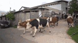 Happy cows returning to the pasture after a long winter in the cow shed…and animals don't have emotions?!?!?!
