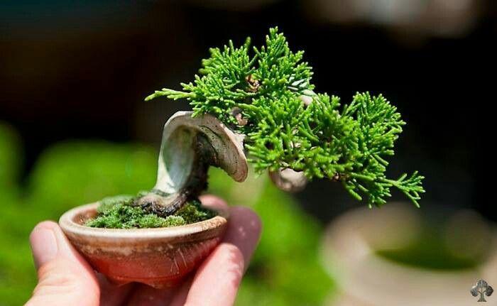 Width sabin juniperus operators mature width