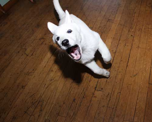 white german shepherd puppy a.k.a. Bolt!