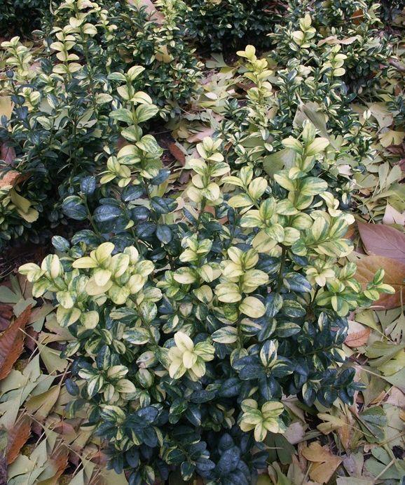 Лиственные кустарники Самшит вечнозеленый Aureovariegata по разумной цене - Зеленый сад
