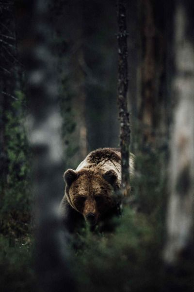 benrogerswpg:  Bear Outdoors via Ben Rogers