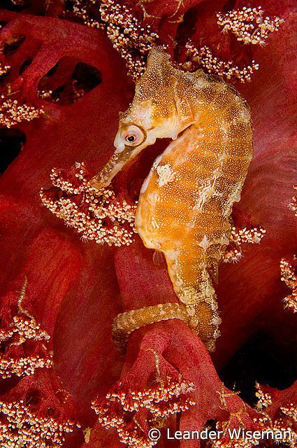 White s Seahorse and soft coral, Port Stephens, Nelson Bay, Australia