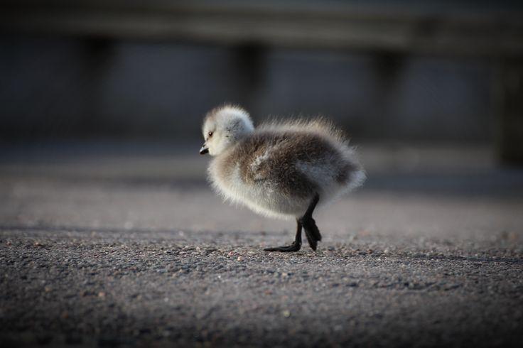 A barnacle goose baby. Helsinki, Finland. #helsinki #finland #birdbaby #animalbaby #virpikivinen #birdart