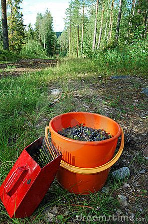 Blueberries in the Scandinavian forest
