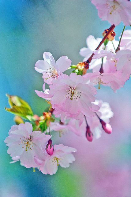 1000 ideas about peach blossoms on pinterest blossoms for Peach tree designs