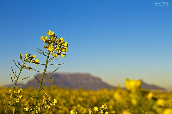 Canola by sjodell