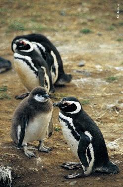 Il pinguino di Magellano è lungo circa 67 cm ed abita sulle coste dell'America del Sud, dal Cile centrale alla Terra del Fuoco ed alle isole Malvinas. Anche se l'acqua è il loro elemento naturale, questi animali hanno raggiunto un alto livello d'adattamento sulla terra ferma e non volano come gli altri uccelli ma sono formidabili sommozzatori con una resistenza fuori del comune. Con la primavera australe arrivano sulle coste circa un milione di esemplari.