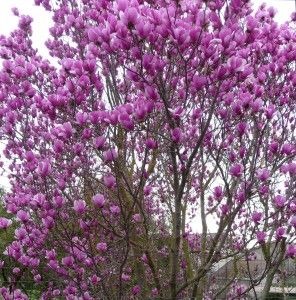 Winter/Spring Blooming Trees: Tulip Tree, The saucer magnolia (Magnolia X soulangeana) These are in full bloom now and they are truly stunning! definitely planting some :))