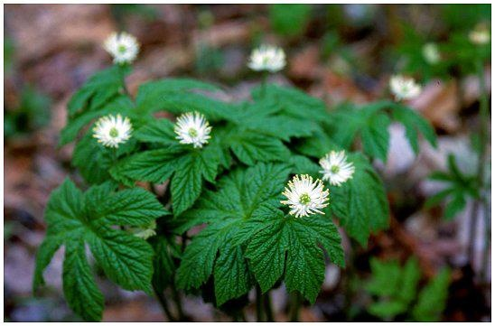 Goldenseal grows wild in parts of the Appalachian Mtns.It has become endangered by overharvesting. With natural supplies dwindling, it's now grown commercially across the US, especially in the Blue Ridge Mountains. Historically, Native Americans used Goldenseal for various health conditions.Traditional uses of Goldenseal include colds & respiratory tract infections. It is also applied to wounds and canker sores,used as a mouthwash for sore gums, mouth,& throat. Blooms in Late spring