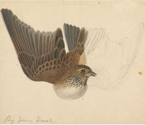 James Sowerby (1757-1822):  A Bird with Wings Spread.