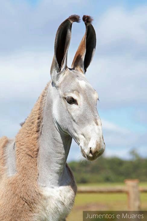 marwari mule?   Critters   Pinterest   Gov't Mule, Donkeys and Ears
