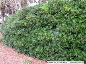 Japanese pittosporum hedge.