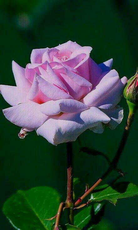 Beautiful Rose.