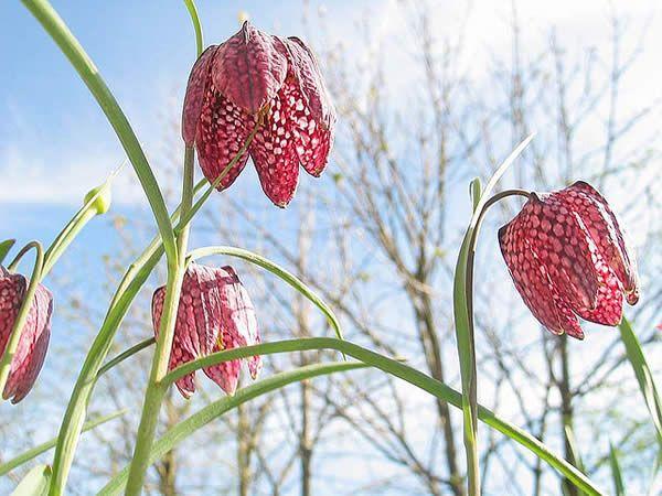 Flower, Schachbrettblume, Low Angle, Ground Level