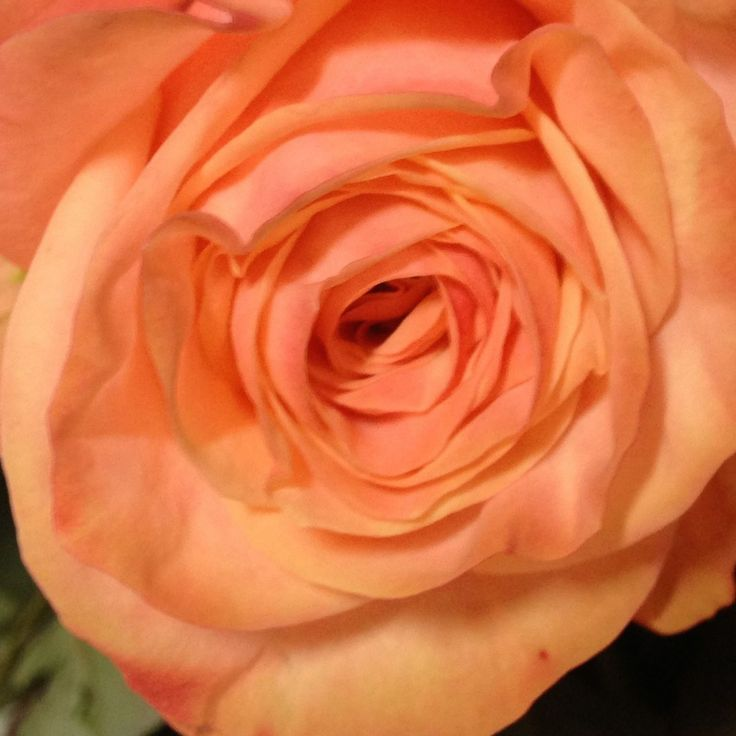 Peach Garden Rose 29 best peach roses images on pinterest | peach flowers, peaches