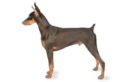 The Doberman Pinscher was developed in Germany during the late 19th century, primarily as a guard dog. His exact ancestry is unknown, but he's believed to be a mixture of many dog breeds, including the Rottweiler, Black and Tan Terrier, and German Pinscher. Doberman Pinscher looks like an aristocrat. He is a highly energetic and intelligent dog, suited for police and military work. Read more at http://dogtime.com/dog-breeds/doberman-pinscher#TlWJoODwA27vXs7R.99