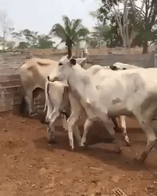Cow Tried To Break World Record Of High Jump But Ended Up Breaking Something Else http://ift.tt/2jpPVzA