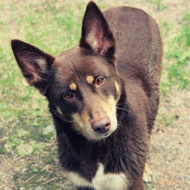 17 Best Images About Pins For Pets On Pinterest: 17 Best Images About Lapponian Herder On Pinterest