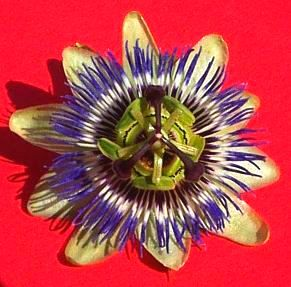 passion flower from front