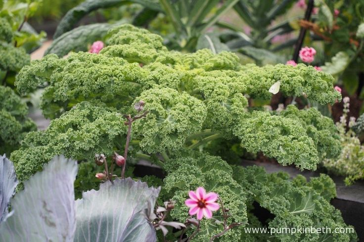 Kale 'Reflex' pictured in the RHS Kitchen Garden, at the RHS Hampton Court Palace Flower Show 2017. Can you spot the cabbage white butterfly?