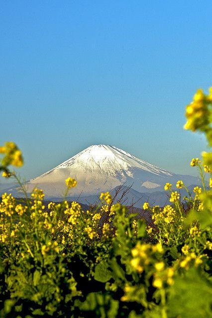 Mt.Fuji and field mustard
