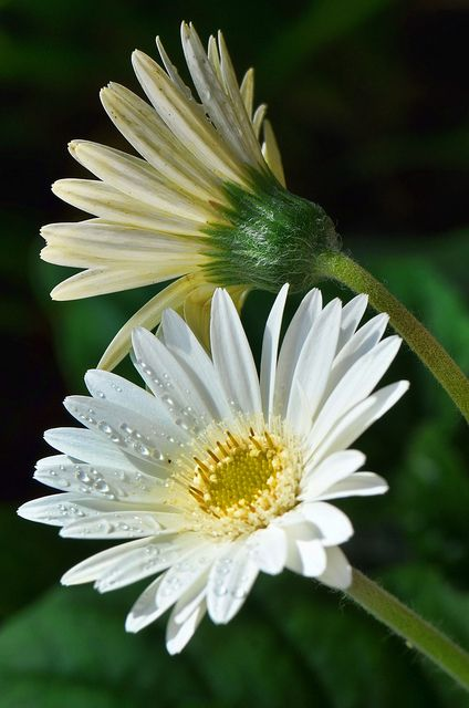 Gerbera Daisy, such a pretty environmentally good plant!! .. mine is new