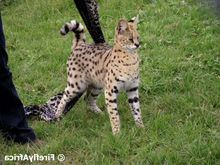 The Firefly Photo Files: Serval Cat