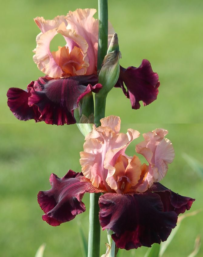 TB Iris germanica 'Oh Jamaica' (Schreiner, 1995)