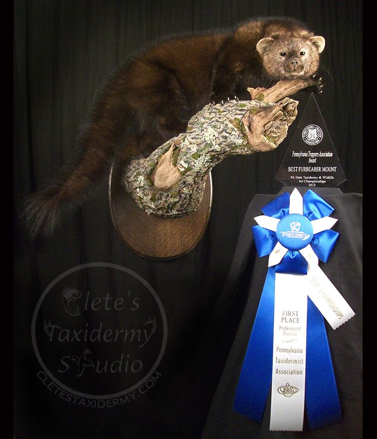 Fisher cat life size taxidermy; hunting; fur trapping
