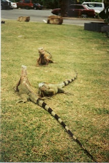 Big lizards, St. Thomas. I took this in 2001.