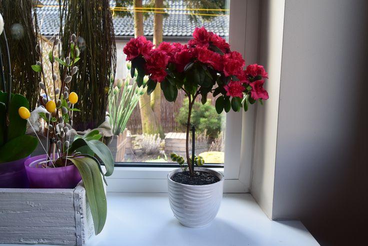 Azalia na pniu. #hydroboxpl #hydrobox #azalia #kwiaty #kwiat #kwiatydoniczkowe #flowers #flower #flowerpot #doniczka #diy #home #dekoracje #ideas