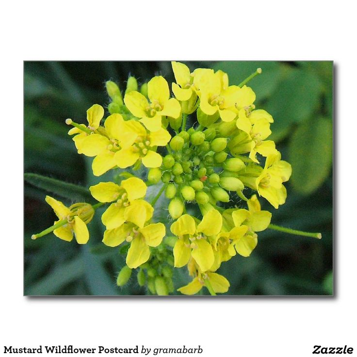 Mustard Wildflower Postcard