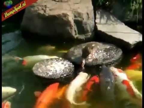 Eend voert koi karpers - YouTube