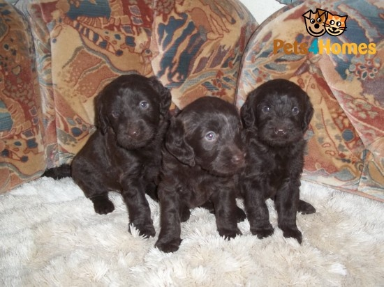 miniture labradoodle double chocolate puppys. | Cambridge, Cambridgeshire | Pets4Homes